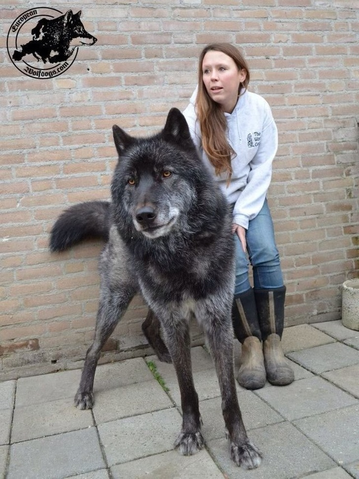 18 Stunning Wolfdogs That Made Us Fall For Them
