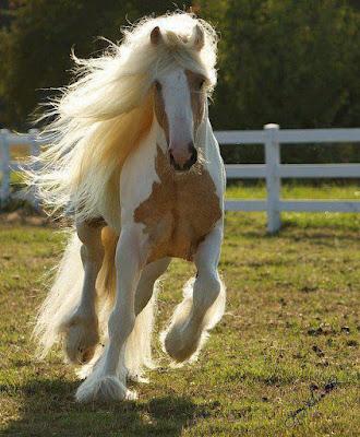 hermosa fotografia de caballos rubio y blanco galopando