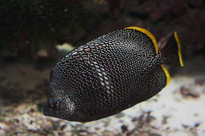 Ikan hias Wrought Iron Butterflyfish