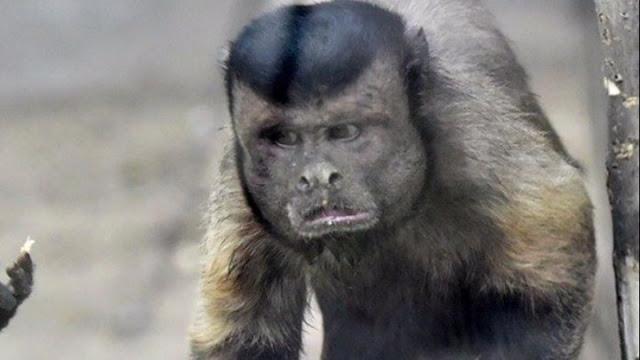 Η μαϊμού που τρώει ψήφους