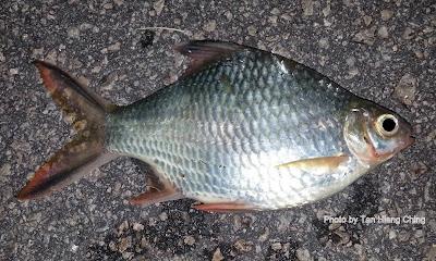 PANCING: Ikan air Payau,Tawar - photo#48