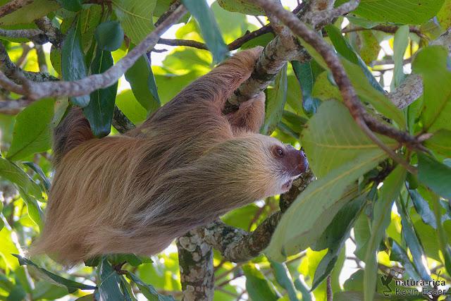 Two-toed Sloth - Choloepus hoffmanni