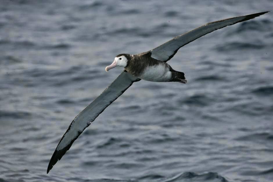 albatros de las Antipodas Diomedea antipodensis