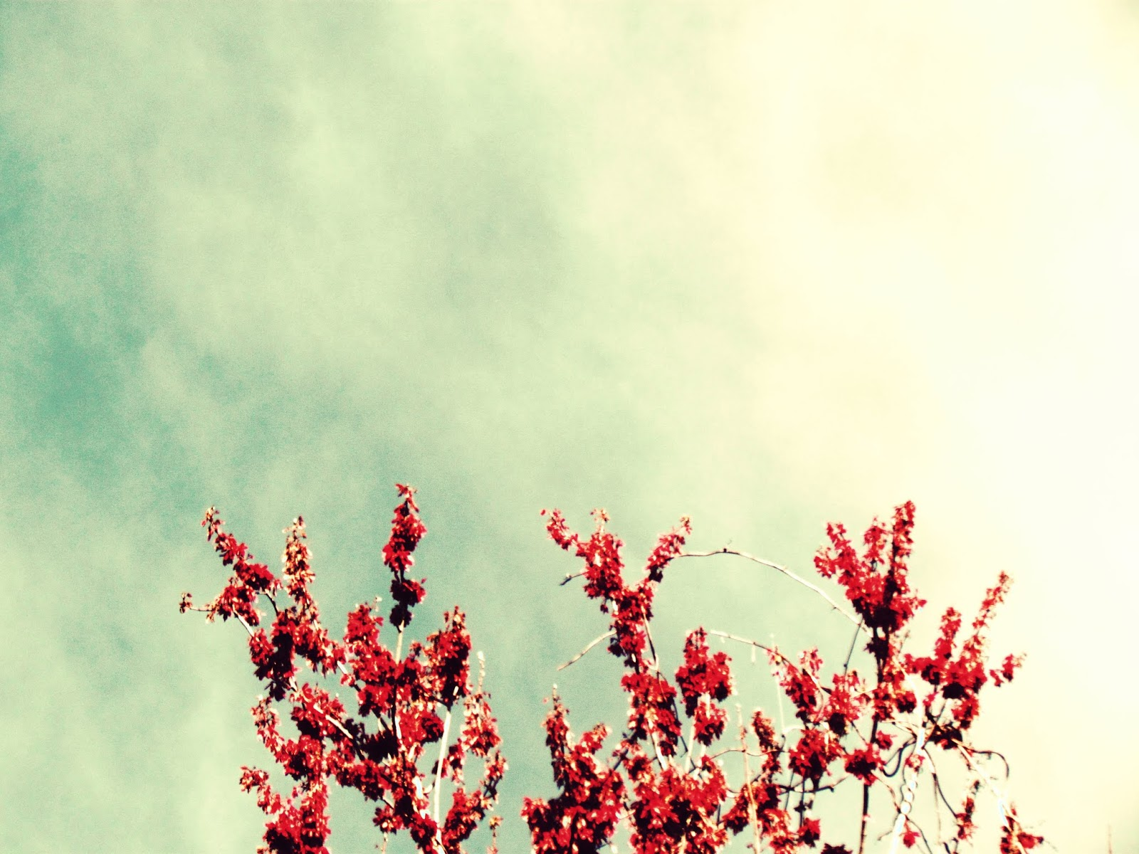 Flowered Trees in Spring Against Blue Skies Dotted With Clouds