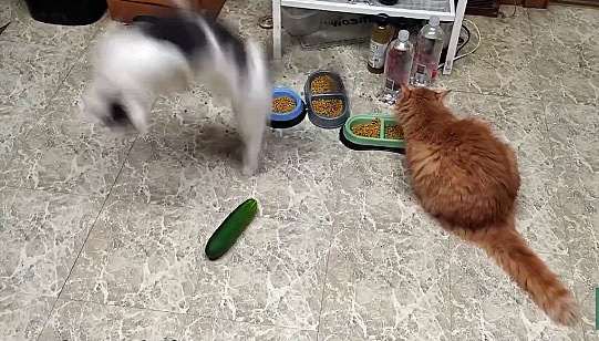 cat scared by cucumber