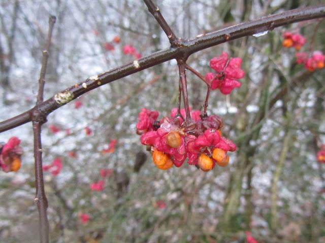 Frutti Maturi Euonymus europaeus