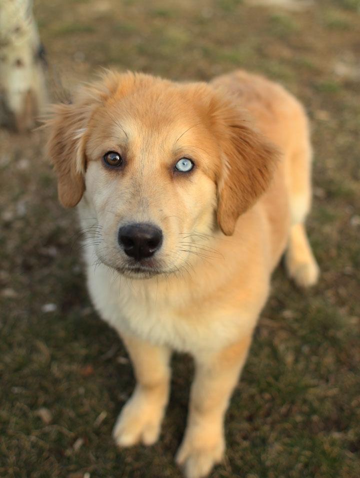 Golden Retriever Dogs To Adopt