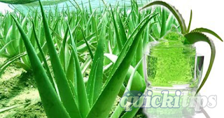 Secrets-of-Aloe-vera-www.quickitips.com