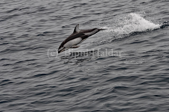 A Bottle nose Dolphin Breaching on Air