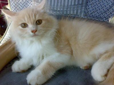 Jenis Kucing Persia Medium