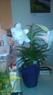 Easter Lily, blossoning since Wednesday