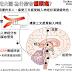 臨床藥學 報告用大圖 為什麼會偏頭痛 (Pathophysiology AND Sex Difference of Migraine)