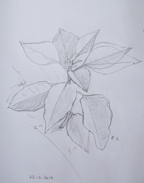 Poinsettia drawing by Mary Adam