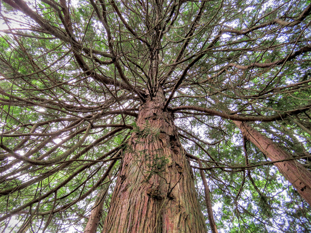 Very tall tree in Lough Key Forest Park in County Roscommon, Ireland