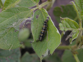 thistle-caterpillar