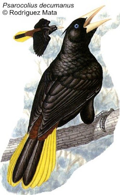 Yapú Psarocolius decumanus