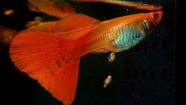 Ikan Guppy (poecilia reticulata peters)