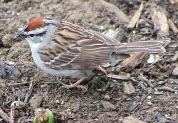 BirdsEyeViews: Invierno 2015 Aves del patio trasero
