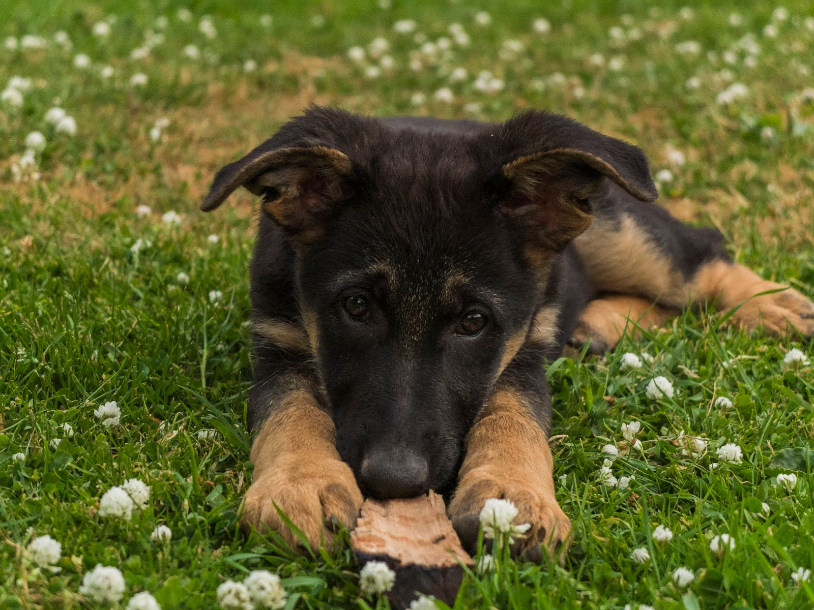A 3 month old German Shepherd puppy Poppy lying on white clover grass with a stick between her paws.