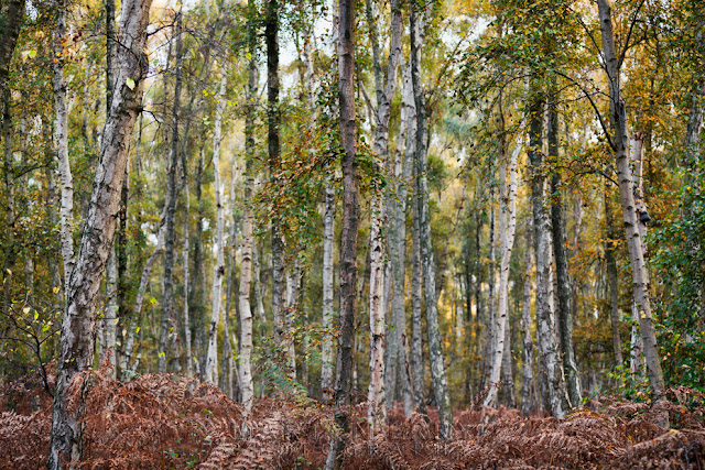 Silver birches at Holme Fen, the largest collection in the UK