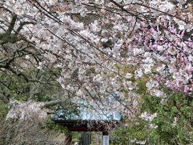 光則寺の桜