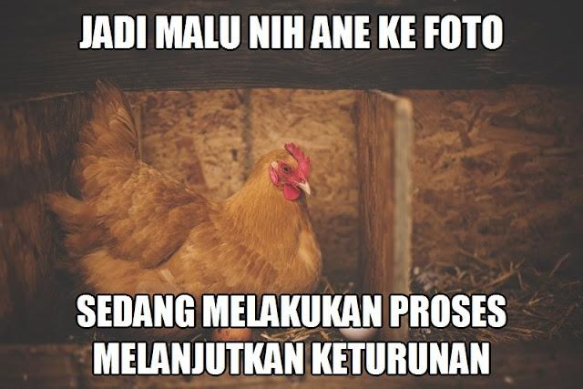 45 Meme Lucu Tentang Ayam