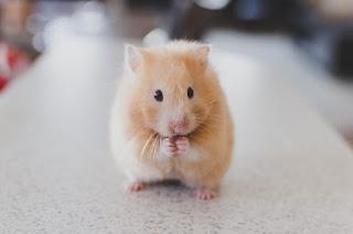 Cara Mengawinkan Hamster Bagi Pemula