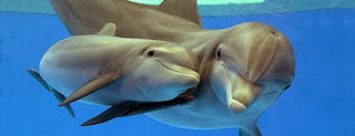 Induk dan anak ikan lumba lumba