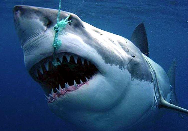 Köpek balığı avı oldukça tehlikelidir, zira köpek balıkları kolay ölen canlılar değildir.