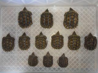 Jual  Alligator Snapping Turtle Jakarta,  Harga  Alligator Snapping Turtle Jakarta,  Toko  Alligator Snapping Turtle Jakarta,  Diskon  Alligator Snapping Turtle Jakarta,  Beli  Alligator Snapping Turtle Jakarta,  Review  Alligator Snapping Turtle Jakarta,  Promo  Alligator Snapping Turtle Jakarta,  Spesifikasi  Alligator Snapping Turtle Jakarta,   Alligator Snapping Turtle Jakarta Murah,   Alligator Snapping Turtle Jakarta Asli,   Alligator Snapping Turtle Jakarta Original,   Alligator Snapping Turtle Jakarta Jakarta,  Jenis  Alligator Snapping Turtle Jakarta,  Budidaya  Alligator Snapping Turtle Jakarta,  Peternak  Alligator Snapping Turtle Jakarta,  Cara Merawat  Alligator Snapping Turtle Jakarta,  Tips Merawat  Alligator Snapping Turtle Jakarta,  Bagaimana cara merawat  Alligator Snapping Turtle Jakarta,  Bagaimana mengobati  Alligator Snapping Turtle Jakarta,  Ciri-Ciri Hamil  Alligator Snapping Turtle Jakarta,  Kandang  Alligator Snapping Turtle Jakarta,  Ternak  Alligator Snapping Turtle Jakarta,  Makanan  Alligator Snapping Turtle Jakarta,   Alligator Snapping Turtle Jakarta Termahal,  Adopsi  Alligator Snapping Turtle Jakarta,  Jual Cepat  Alligator Snapping Turtle Jakarta,  Kreatif  Alligator Snapping Turtle Jakarta,  Desain  Alligator Snapping Turtle Jakarta,  Order  Alligator Snapping Turtle Jakarta,  Kado  Alligator Snapping Turtle Jakarta,  Cara Buat  Alligator Snapping Turtle Jakarta,  Pesan  Alligator Snapping Turtle Jakarta,  Wisuda  Alligator Snapping Turtle Jakarta,  Ultah  Alligator Snapping Turtle Jakarta,  Nikah  Alligator Snapping Turtle Jakarta,  Wedding  Alligator Snapping Turtle Jakarta,  Flanel  Alligator Snapping Turtle Jakarta,  Special  Alligator Snapping Turtle Jakarta,  Suprise  Alligator Snapping Turtle Jakarta,  Anniversary  Alligator Snapping Turtle Jakarta,  Moment  Alligator Snapping Turtle Jakarta,  Istimewa   Alligator Snapping Turtle Jakarta,  Kasih Sayang   Alligator Snapping Turtle Jakarta,  Valentine   Alligator Snapping Tur