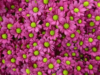 Różowe kwiaty chryzantemy