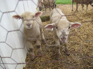 lambs at Slate Run Farm