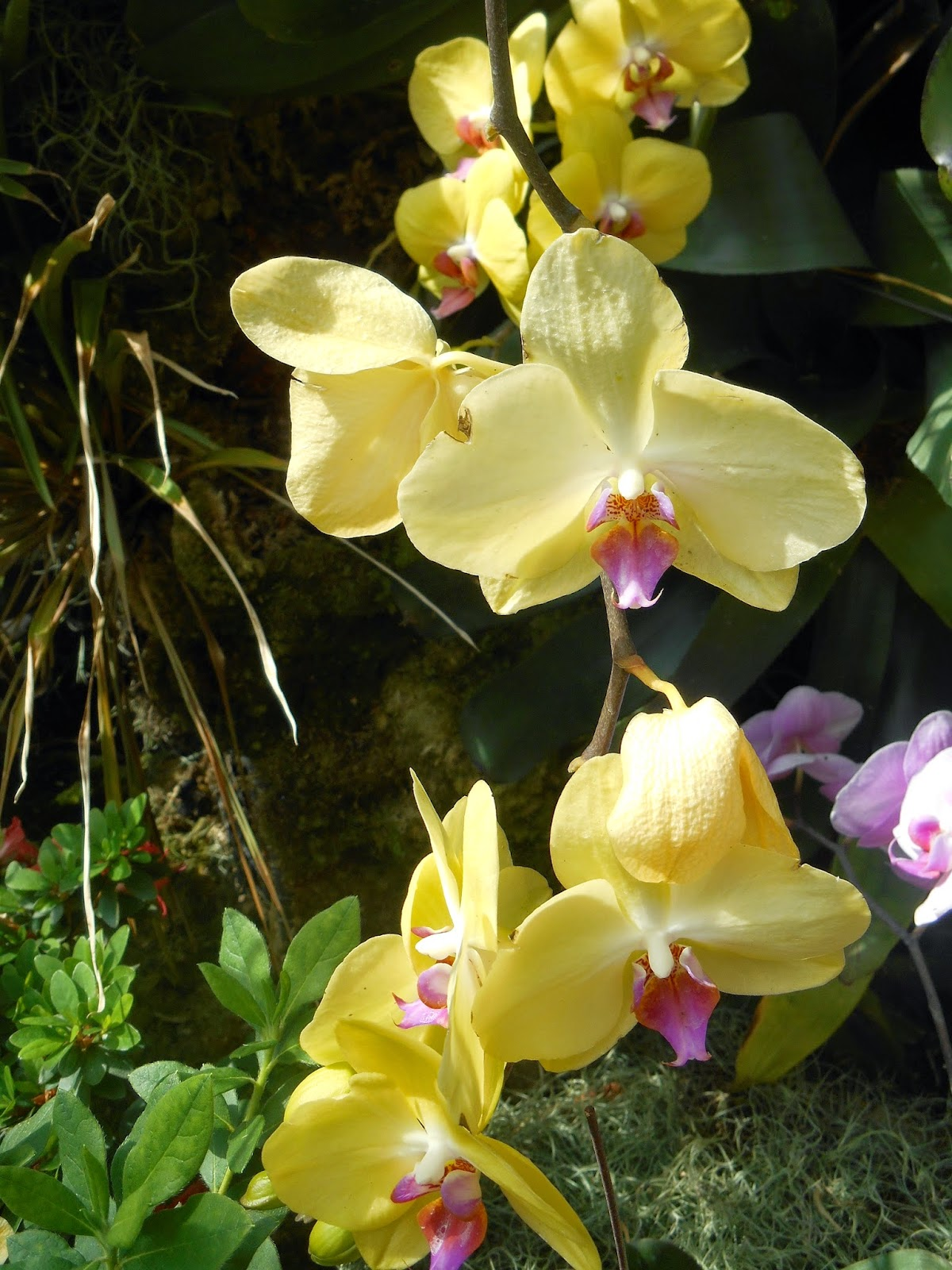 Dendrobium Orchid