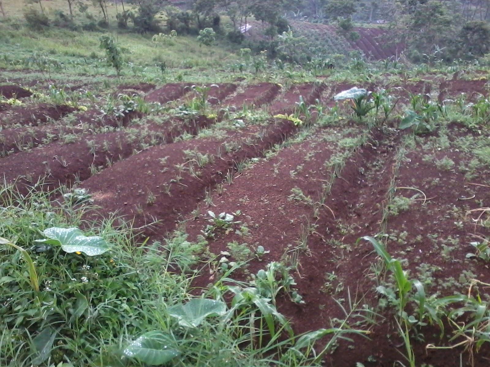 Foto-0243 Jual Tanah luas 4,4 Ha, Ketinggian 1000 m2 Jual tanah di cipanas jual tanah di puncak