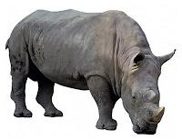 Gergedan hayvanının ön-yandan görünüşü