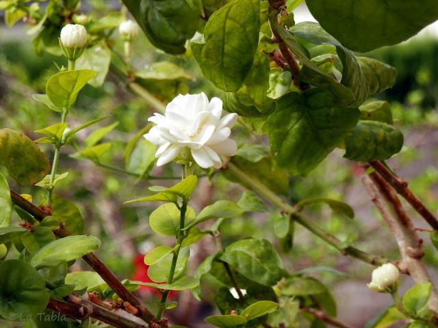 Jasminum sambac 'Duque de Toscana