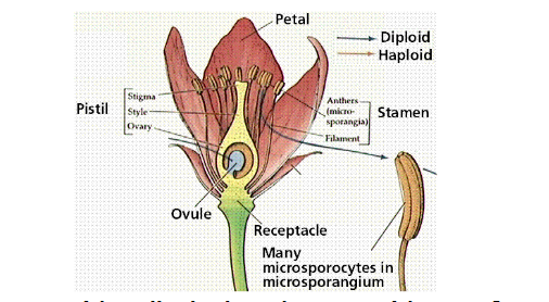 Self pollination asexual reproduction