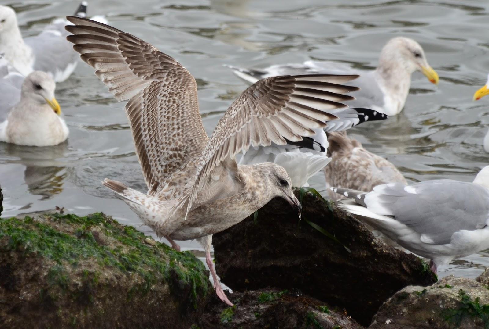 Bird Hybrids: Thayer's Gull x Iceland Gull |Thayers Gull
