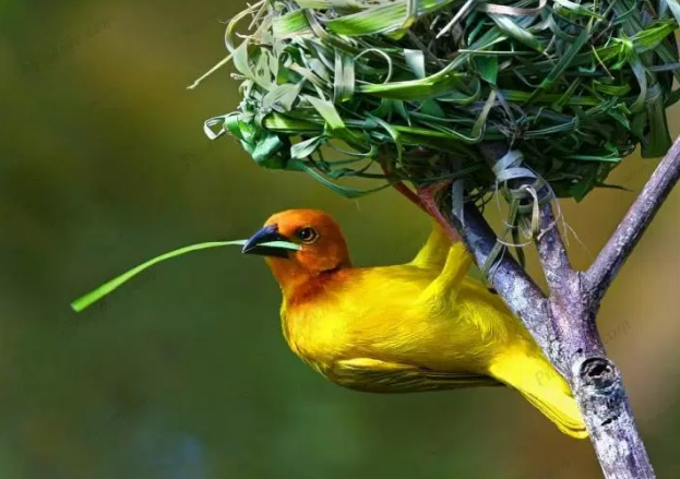Perfect Nest Building From Weaver Bird On Palm Tree