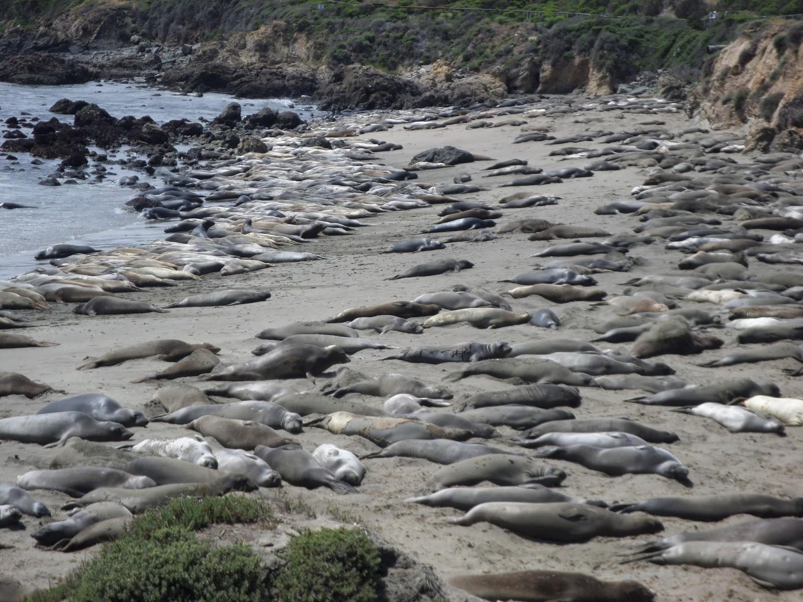 dicas viagem roadtrip california big sur sea elephant