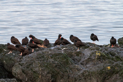 Black Oystercatchers at Deception Pass