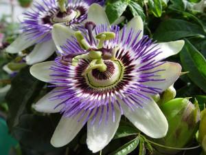 Flor de maracujá, flor de nossa senhora, flor da paixão