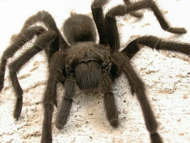 imagenes de tarantulas negras