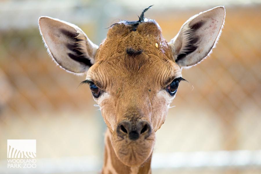 2017_06_21+giraffe+baby+900+3+wm.jpg