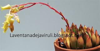 planta-echeveria-agavoides-x-echeveria-colorata