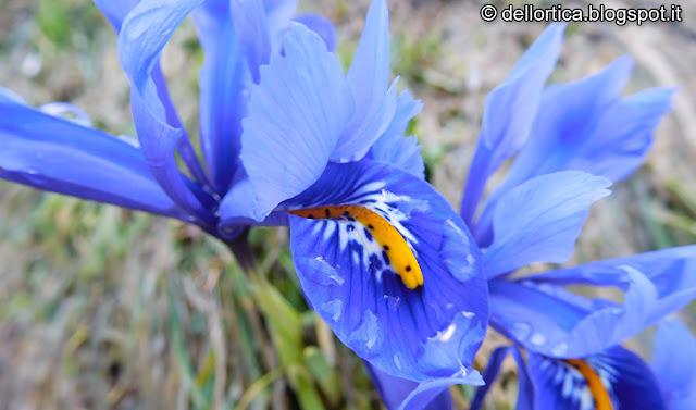 iris fiori rose Savigno tarassaco bologna Valsamoggia fattoria didattica ortica