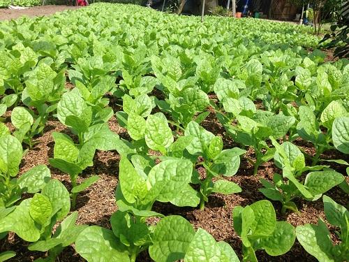 Quy trình trồng rau hữu cơ - Rau sạch tại TPHCM