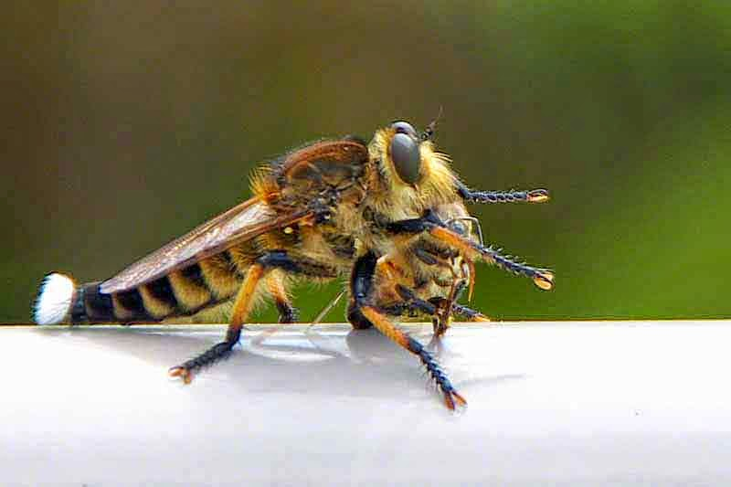 Robber Fly, Assassin Fly, bee