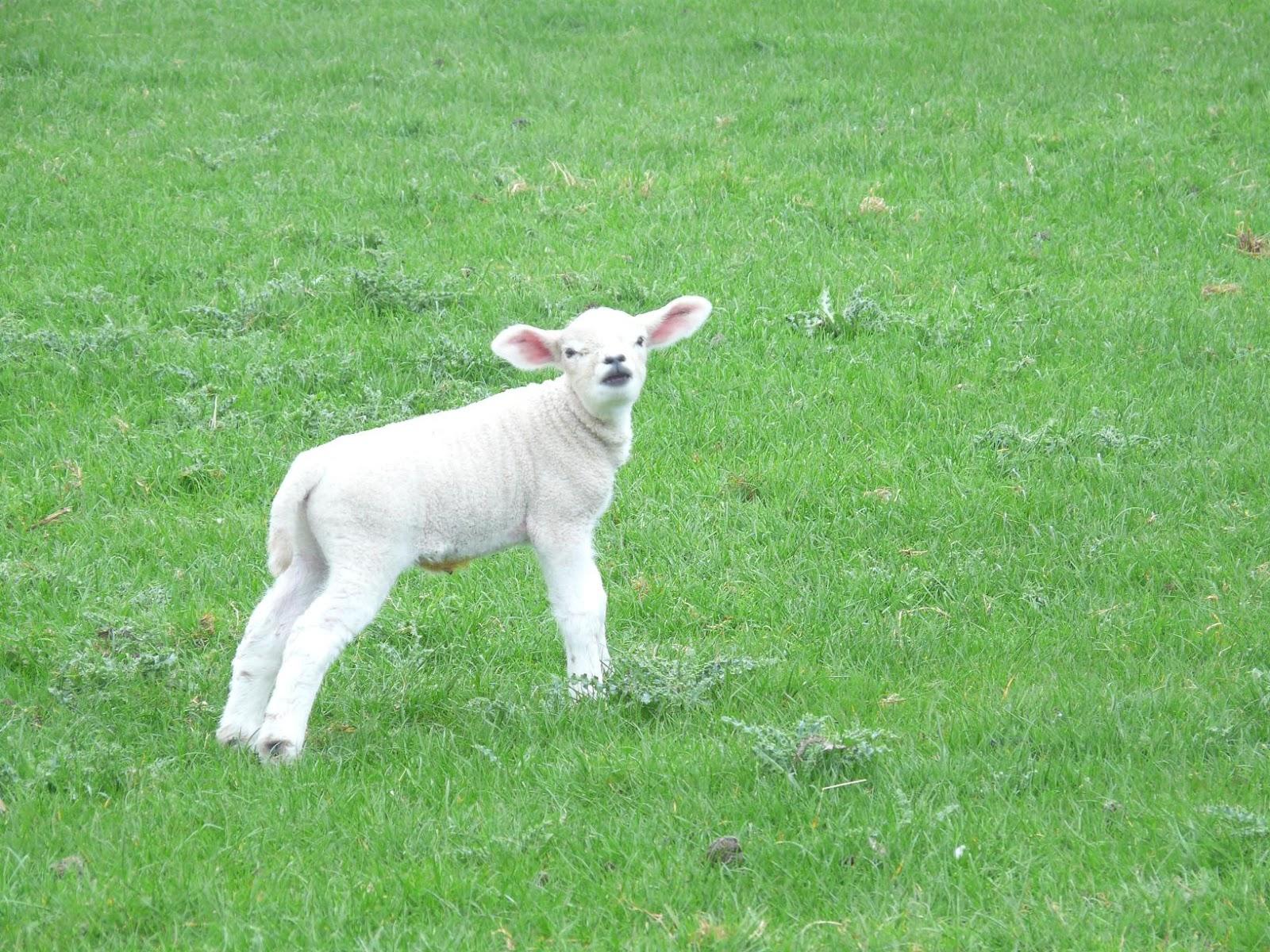 Lamb Scour