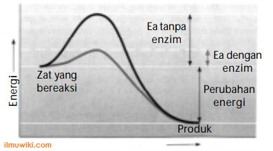 Grafik no 39 Soal Materi Metabolisme, Katabolisme, Anabolisme, Enzim, ATP, Aerob, Anaerob, Fotosintesis